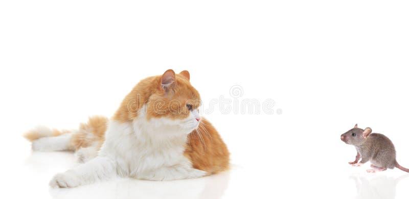 να κοιτάξει επίμονα ποντικιών γατών στοκ εικόνα με δικαίωμα ελεύθερης χρήσης