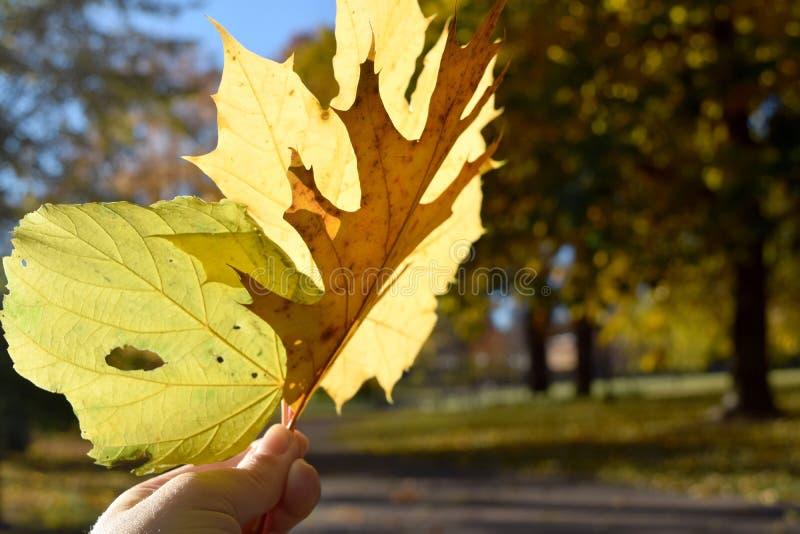 Να κρατήσει ψηλά τα κίτρινα φύλλα στοκ φωτογραφία
