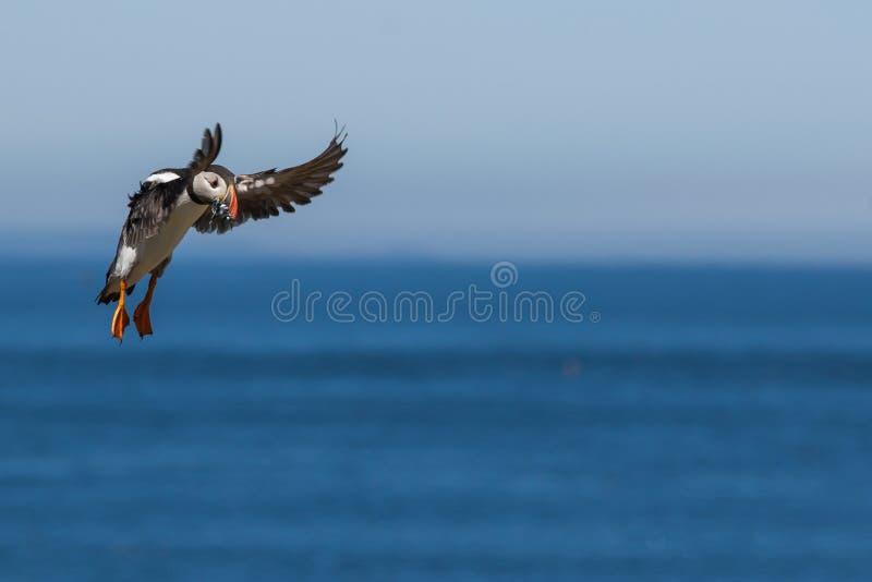 Να ξεφυσήξει προσγείωση με mouthful των ψαριών στοκ εικόνα με δικαίωμα ελεύθερης χρήσης
