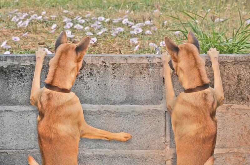Να προσέξει έξω τα δίδυμα σκυλιά πέρα από τον τοίχο στοκ εικόνα