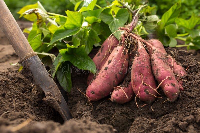 Να σκάψει επάνω τις γλυκές πατάτες στοκ εικόνες