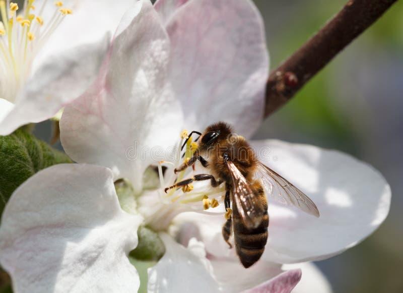 Να ταΐσει μελισσών με το λουλούδι μήλων στοκ εικόνες
