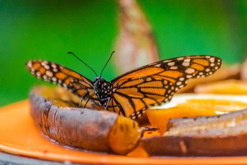 Να ταΐσει πεταλούδων μοναρχών με μια ώριμη μπανάνα στοκ εικόνες