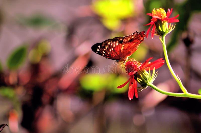 Να ταΐσει πεταλούδων κόλλεϊ με το λουλούδι στοκ φωτογραφίες
