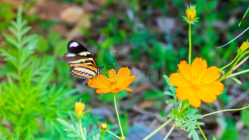Να ταΐσει πεταλούδων μοναρχών με ένα όμορφο πορτοκαλί λουλούδι στοκ φωτογραφία