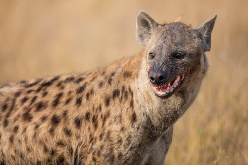 Να ταΐσει Hyena με ένα reddbuck στοκ φωτογραφίες