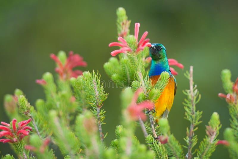 Να ταΐσει Sunbird με το επιτραπέζιο βουνό Νότια Αφρική στοκ εικόνες