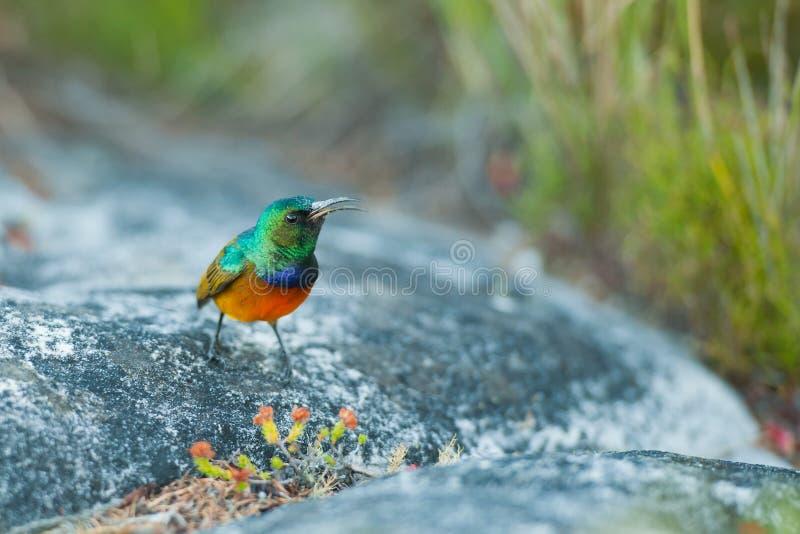 Να ταΐσει Sunbird με το επιτραπέζιο βουνό Νότια Αφρική στοκ εικόνα