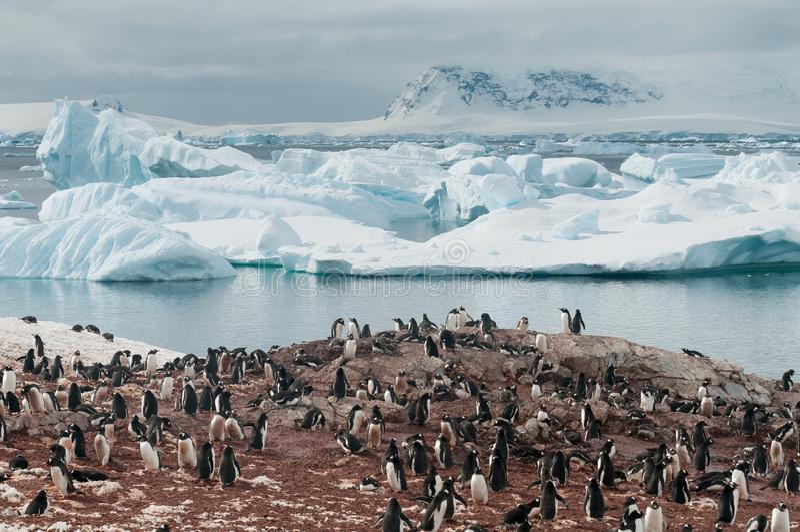 Να τοποθετηθεί Gentoo Penguins, νησί Cuverville, ανταρκτική χερσόνησος στοκ εικόνα