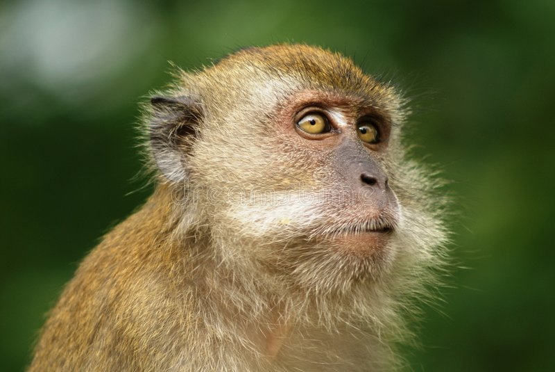 να φανεί macaque πίθηκος στοκ φωτογραφία με δικαίωμα ελεύθερης χρήσης