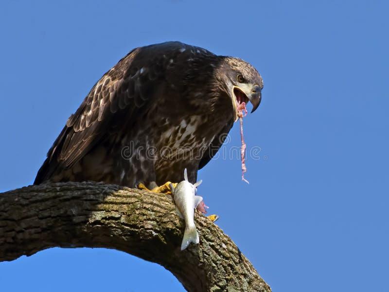 Νεανική αμερικανική φαλακρή κατανάλωση αετών στοκ φωτογραφία με δικαίωμα ελεύθερης χρήσης