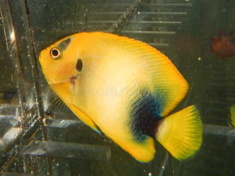 Νεανική δύση - αφρικανικό Angelfish στοκ φωτογραφίες με δικαίωμα ελεύθερης χρήσης
