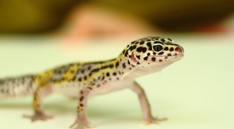 Νεανική στάση gecko λεοπαρδάλεων στοκ εικόνα