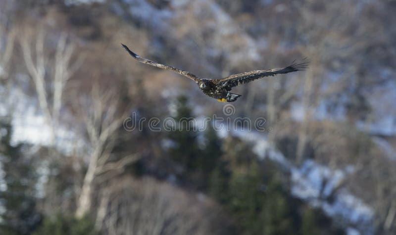 Νεανικός άσπρος-παρακολουθημένος αετός κατά την πτήση στοκ εικόνες