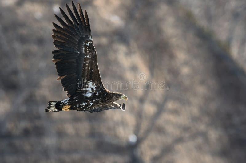 Νεανικός άσπρος-παρακολουθημένος αετός κατά την πτήση στοκ εικόνα