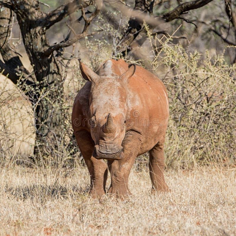 Νεανικός άσπρος ρινόκερος στοκ εικόνες