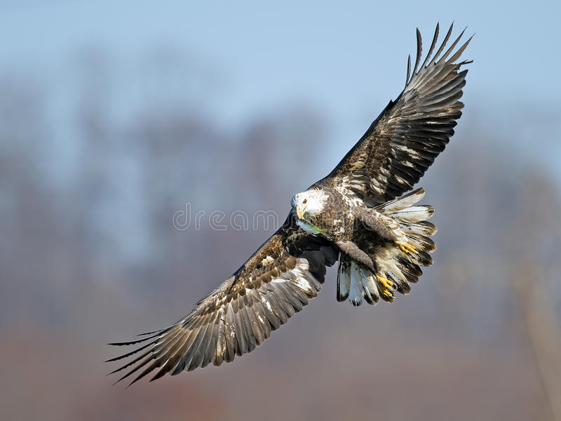 Νεανικός αμερικανικός φαλακρός αετός με τα ψάρια στοκ εικόνα