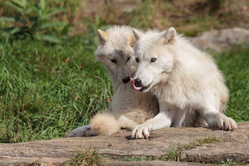 Νεανικός αρκτικός λύκος με τη μητέρα στοκ εικόνα με δικαίωμα ελεύθερης χρήσης