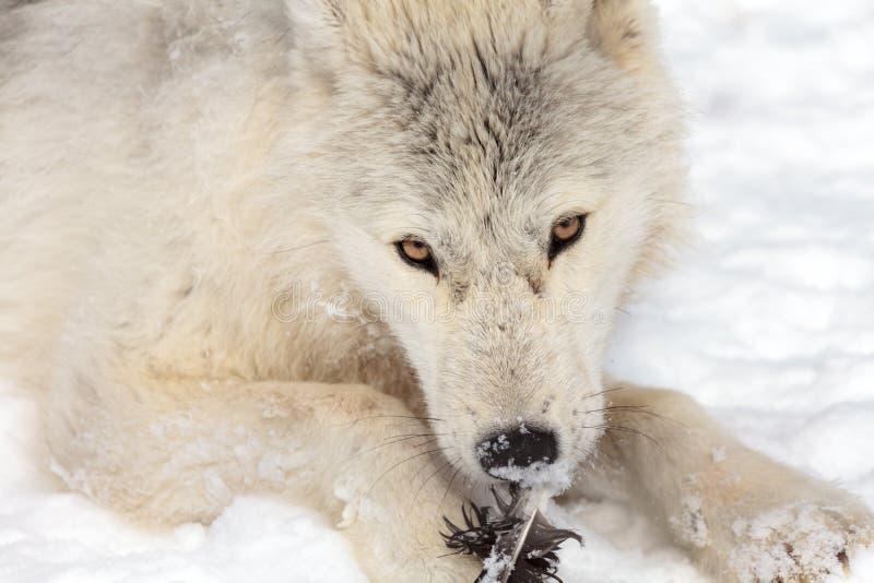 Νεανικός αρκτικός λύκος στοκ εικόνα με δικαίωμα ελεύθερης χρήσης