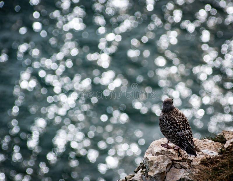 Νεανικός ασημόγλαρος και διάστικτη θάλασσα στοκ φωτογραφίες