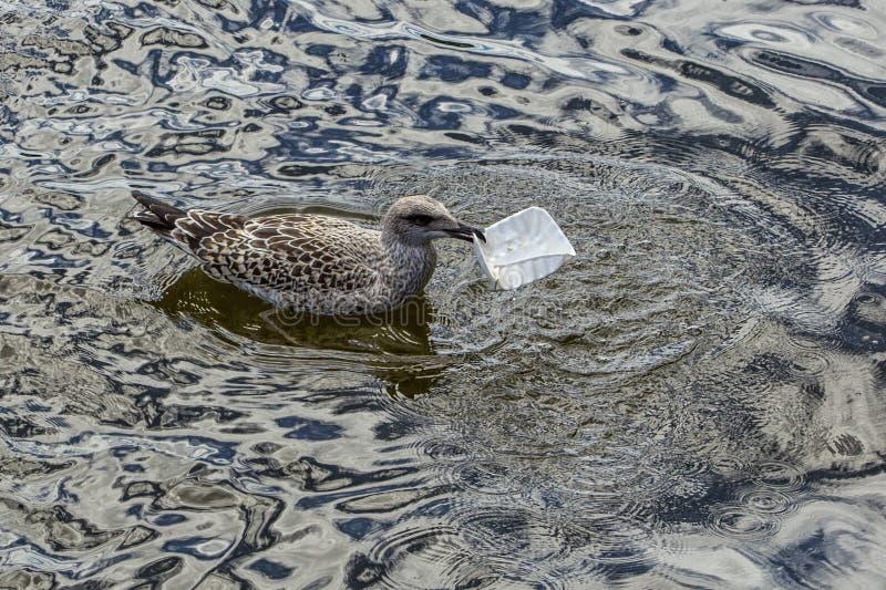 Νεανικός ασημόγλαρος που τρώει την πλαστική συσκευασία στο νερό στοκ φωτογραφία με δικαίωμα ελεύθερης χρήσης