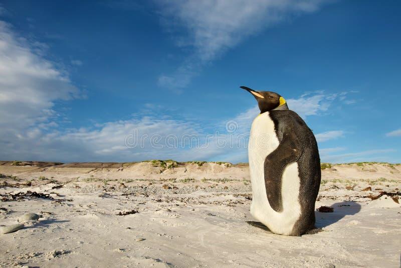 Νεανικός βασιλιάς penguin που στέκεται σε μια αμμώδη παραλία στοκ φωτογραφίες
