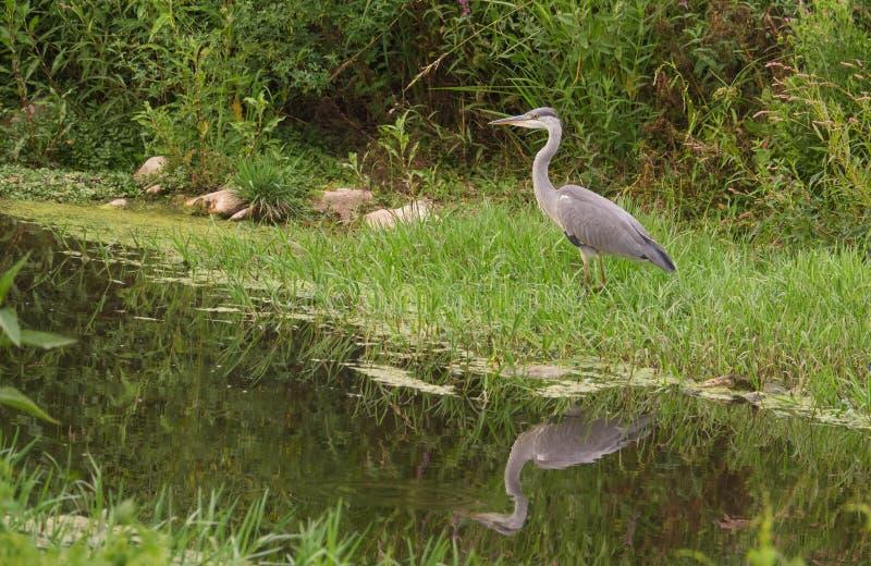 Νεανικός γκρίζος ερωδιός στον ποταμό στοκ φωτογραφίες με δικαίωμα ελεύθερης χρήσης