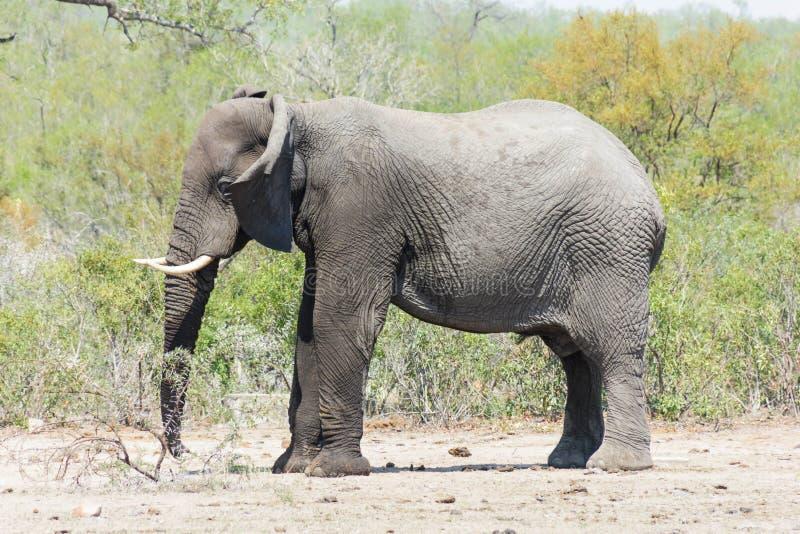 Νεανικός ελέφαντας που χτυπά τα αυτιά του στοκ φωτογραφία