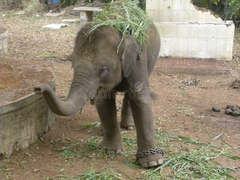 Νεανικός ινδικός ελέφαντας στοκ εικόνες