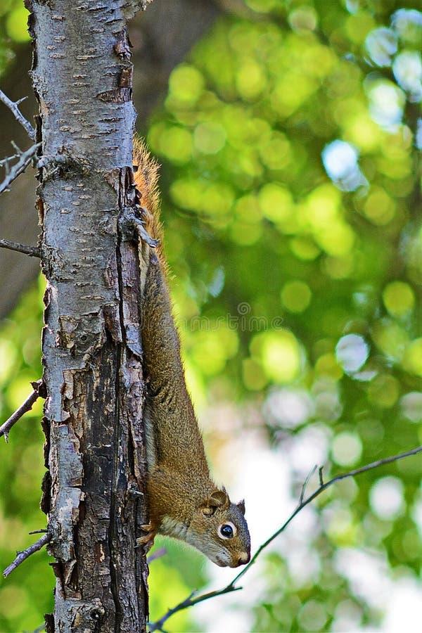 Νεανικός κόκκινος σκίουρος 2 στοκ φωτογραφία με δικαίωμα ελεύθερης χρήσης