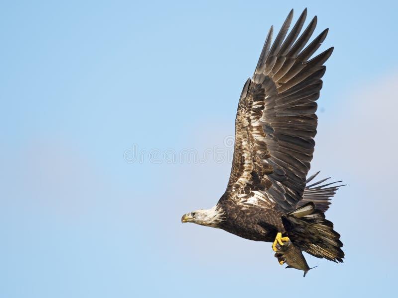 Νεανικός φαλακρός αετός κατά την πτήση με τα ψάρια στοκ εικόνες