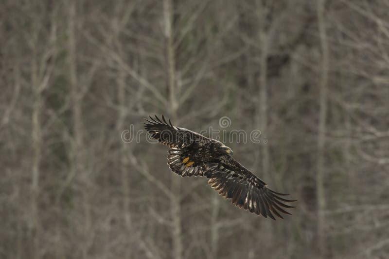 Νεανικός φαλακρός αετός κατά την πτήση στον αέρα στοκ φωτογραφίες