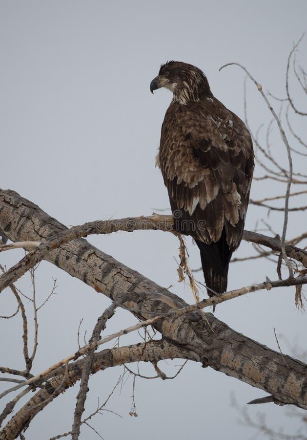 Νεανικός φαλακρός αετός με τα διαστισμένα καφετιά φτερά στοκ εικόνα