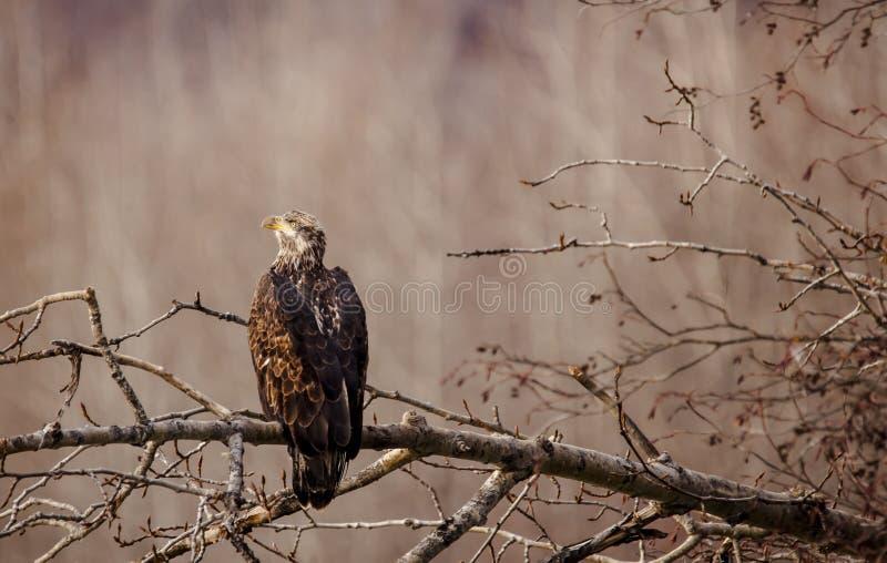 Νεανικός φαλακρός αετός το φθινόπωρο στοκ φωτογραφία
