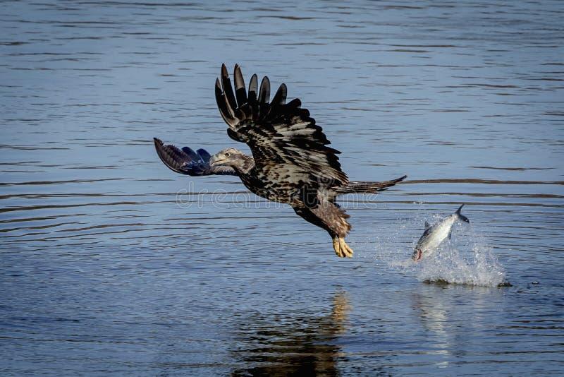 Νεανικός φαλακρός αετός που ρίχνει ένα ψάρι στοκ εικόνα