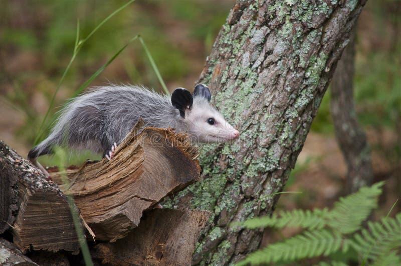Νεανικός Opossum που αναρριχείται στα κούτσουρα στοκ εικόνα