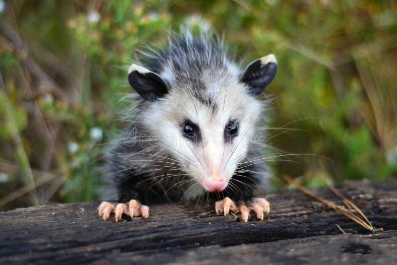 Νεανικός Opossum της Βιρτζίνια, Γεωργία στοκ φωτογραφίες με δικαίωμα ελεύθερης χρήσης