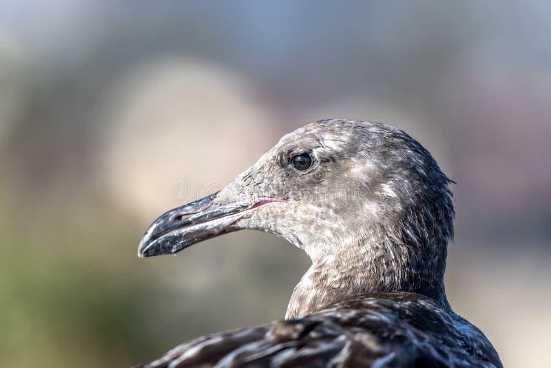 Νεανικός seagull στενός επάνω στοκ φωτογραφία με δικαίωμα ελεύθερης χρήσης