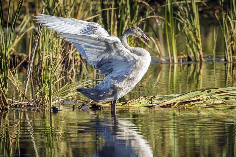 Νεανικός tundra κύκνος που χτυπά τα φτερά του στοκ φωτογραφίες
