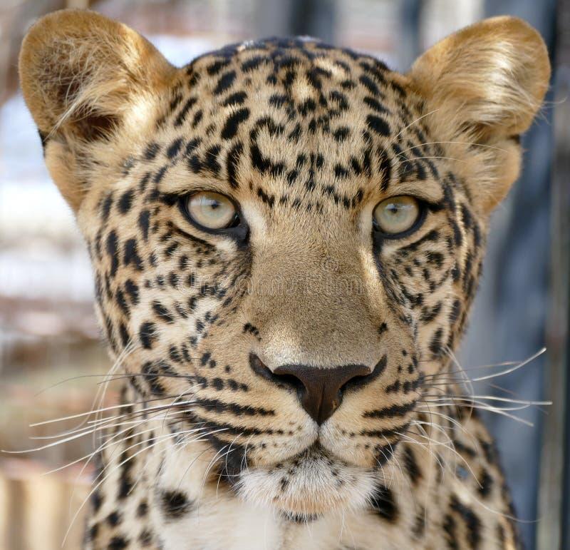 Νεανικό αρσενικό πρόσωπο λεοπαρδάλεων στοκ εικόνα