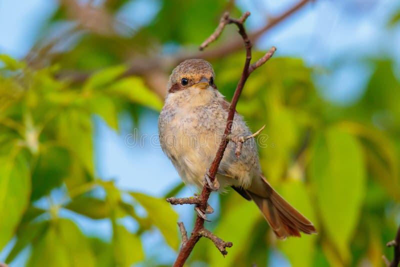 Νεανικό κόκκινος-υποστηριγμένο Shrike στοκ φωτογραφίες με δικαίωμα ελεύθερης χρήσης