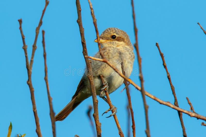 Νεανικό κόκκινος-υποστηριγμένο Shrike στοκ φωτογραφία με δικαίωμα ελεύθερης χρήσης