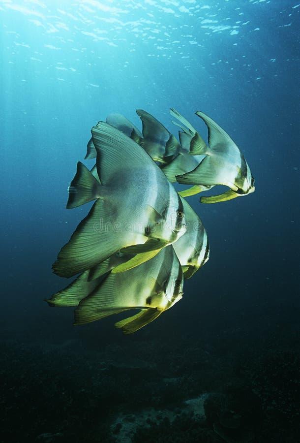 Νεανικό batfish Ειρηνικών Ωκεανών Ampat Ινδονησία Raja (teira Platax) που κολυμπά κάτω από την επιφάνεια του ωκεανού στοκ εικόνα