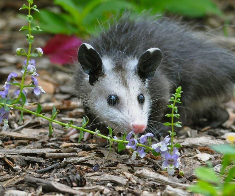Νεανικό Possum σε Flowerbed στοκ εικόνα με δικαίωμα ελεύθερης χρήσης