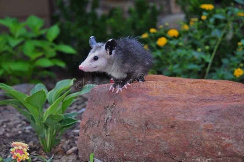 Νεανικό Possum στο βράχο στοκ φωτογραφίες
