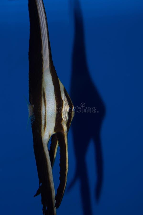 Νεανικό Teira Batfish στοκ εικόνα