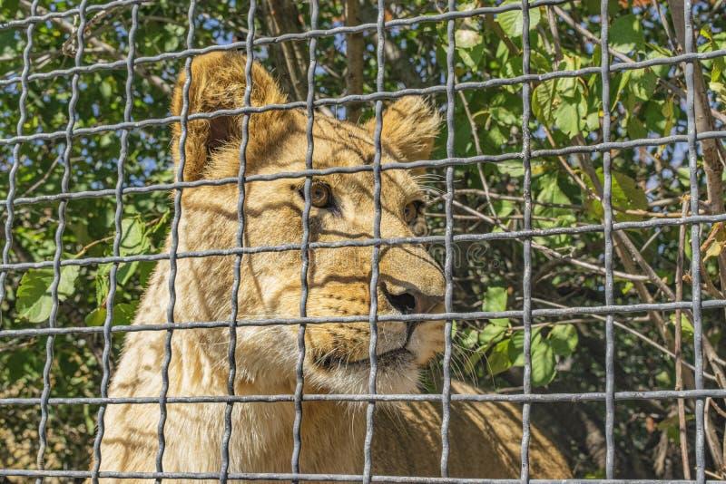 Νεαρές λιονταρίνες πίσω από το φράχτη στο ζωολογικό κήπο Κοντινό πορτραίτο στοκ φωτογραφία