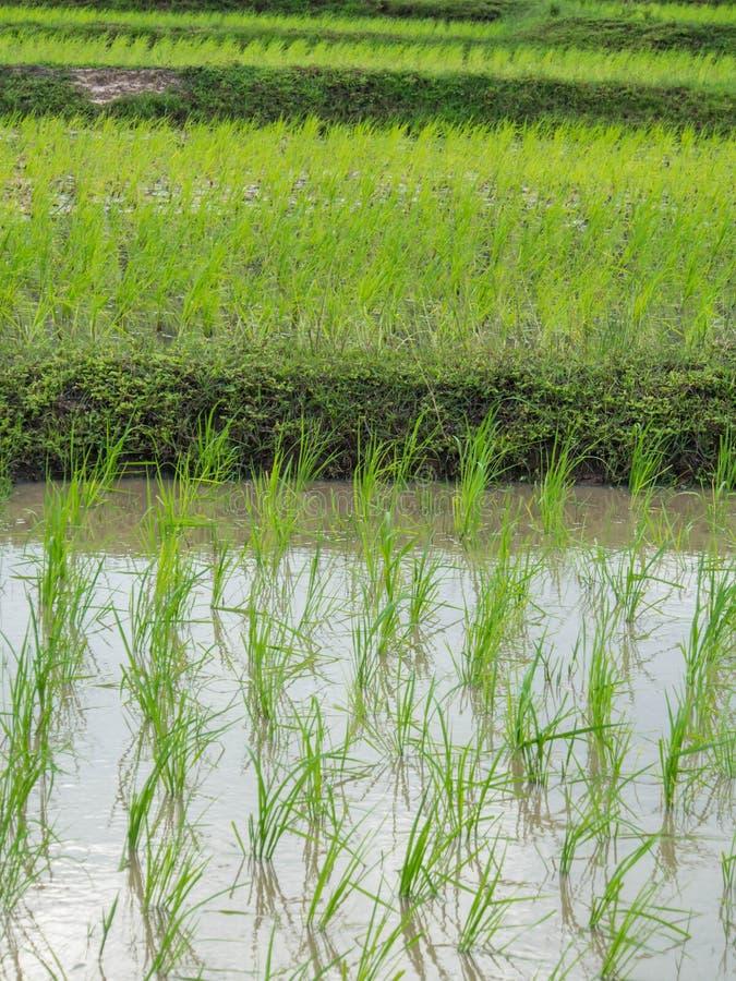 Νεαροί βλαστοί ρυζιού στοκ εικόνες