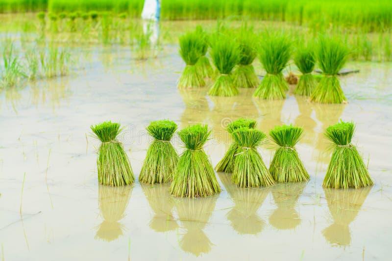 Νεαροί βλαστοί ρυζιού στοκ φωτογραφία