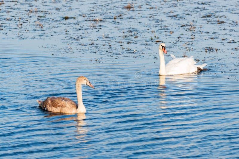 Νεαροί κύκνοι μουγκή ή Cygnus αποπλέουν στο νερό με άλλο πτηνό στοκ φωτογραφίες